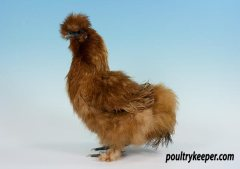Gold Silkie