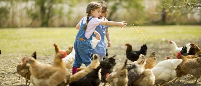 Children-Feeding-Chickens