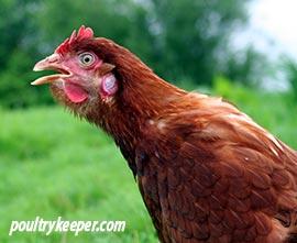 gaping chicken