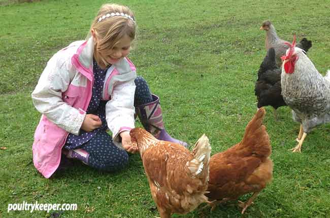 Feeding Chickens Beginners Guide