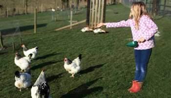 Will Chickens Ruin My Garden?
