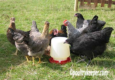 Chickens Drinking Water