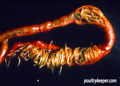 poultry-wormers-large-roundworm
