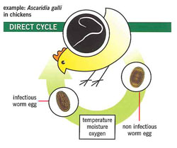 direct life cycle of poultry worms