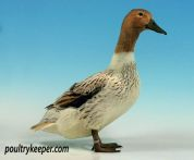 Abacot Ranger Duck
