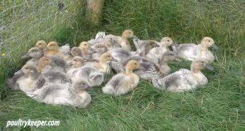 Abacot Ranger Ducklings