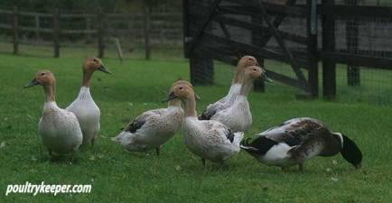 Abacot Ranger Ducks in Field