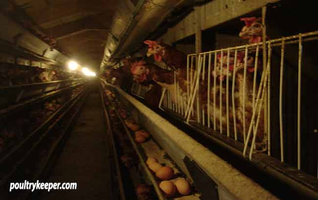 Battery-Hens-in-Cages-on-Farm