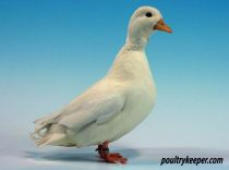 White Call Duck