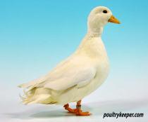 White Call Duck