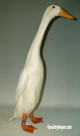 White Indian Runner Duck