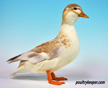 Butterscotch Call Duck