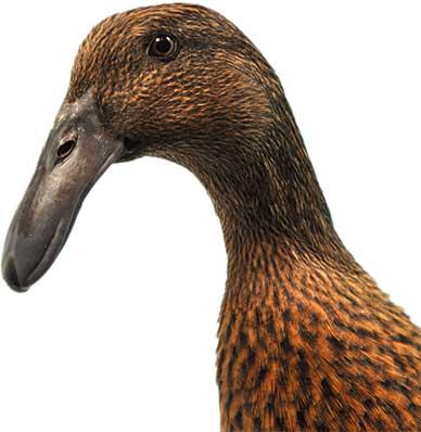 Dusky Hookbill Head
