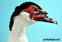 Head of Black Magpie Muscovy Drake