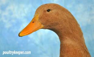Head of Buff Orpington Duck