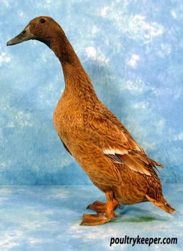 Khaki Campbell Duck