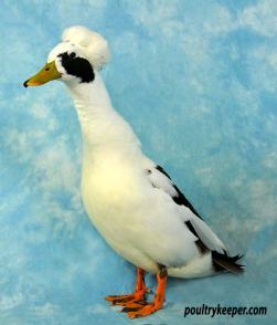 Coloured Miniature Crested Duck