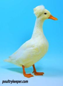 White Miniature Crested Duck