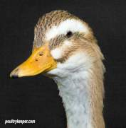Head of Rouen Clair Duck
