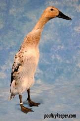 Silver Indian Runner Duck.