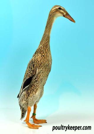 Trout Indian Runner Duck