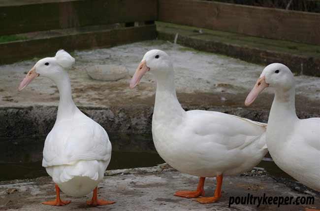 White Hookbill Ducks