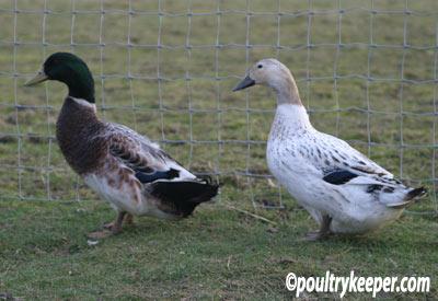 Abacot Ranger Ducks