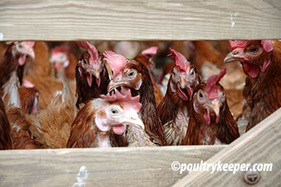 battery-hens-waiting-to-be-rehomed