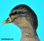 Call Duck Head