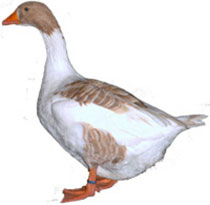 Buff Back Goose