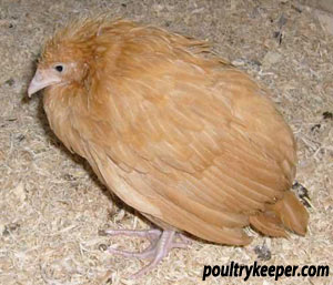 Chicken with Coccidiosis