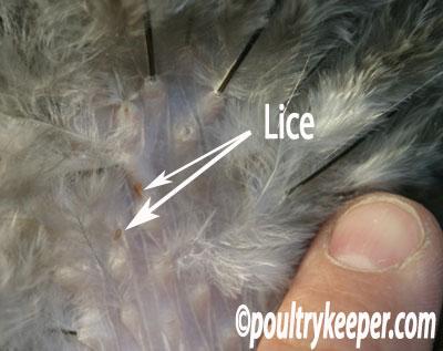 Lice on Chicken