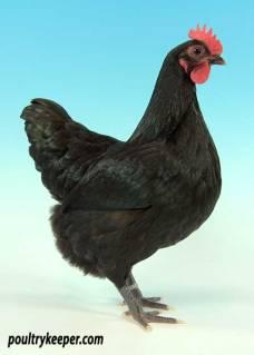 Black Australorp Female Bantam
