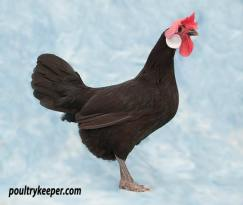 Black Minorca Bantam Female