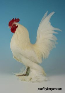 White Booted Bantam Male
