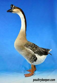 how to tell between a goose and a gander