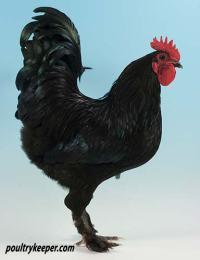 Black Bantam Croad Langshan Male