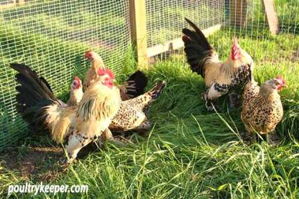 Lemon Millefleur Booted Bantams