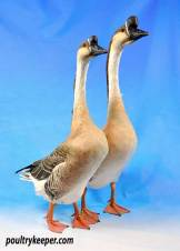 Pair of Chinese Geese