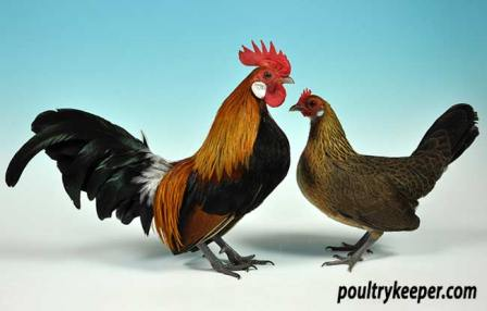 Pair of Gold Dutch Bantams owned by Miss L. Hine. Photo courtesy of Rupert Stephenson.