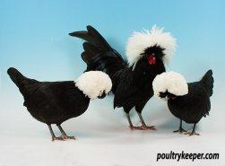 Trio of White Crested Black Poland