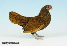 Gold Sebright Bantam Female