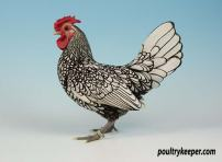 Silver Sebright bantam male