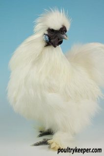 White Silkie Male