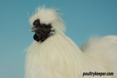 White Silkie Bantam Male