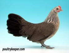 Silver Dutch Bantam Female