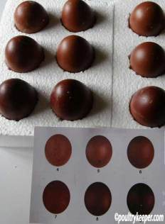 Copper Black Marans Eggs