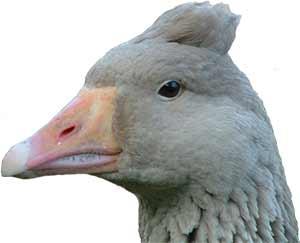Tufted American Buff Goose Head