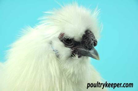 Head of White Silkie Bantam