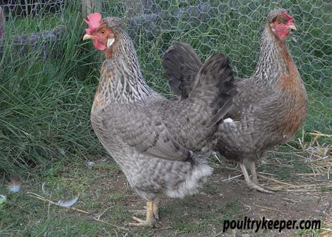 Pair of Cream Legbar Hens